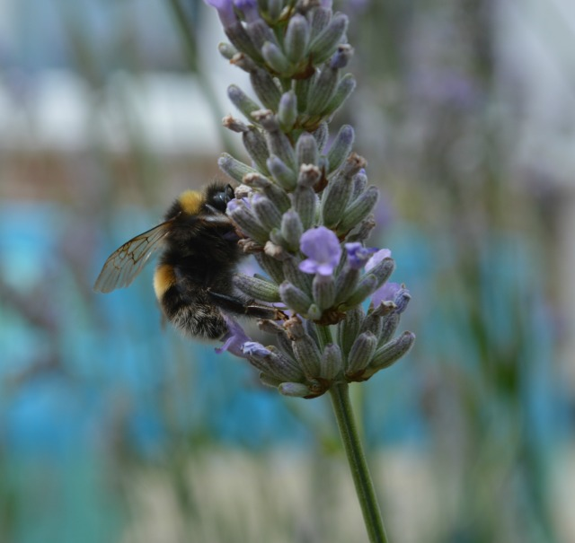 My husband took this shot of one of the many bumblebees currently residing on the lavender in our back garden